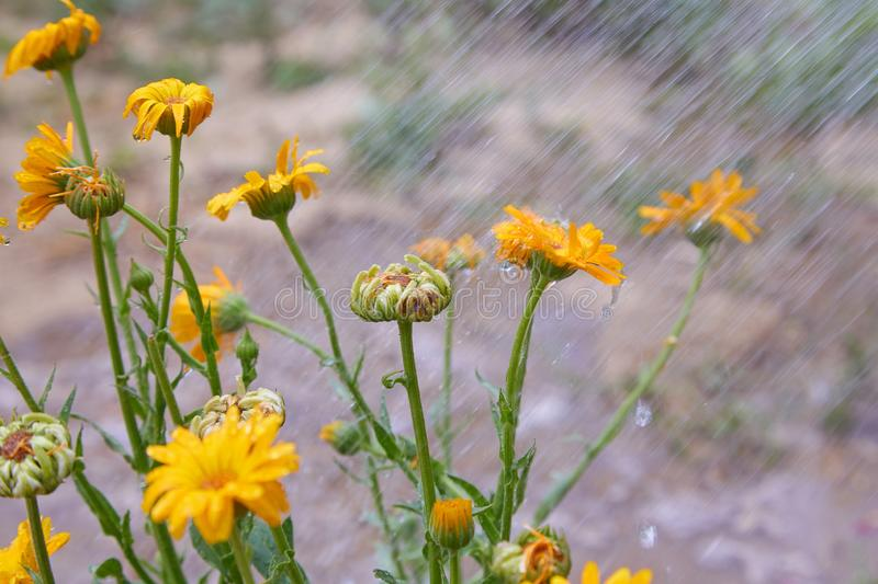 Summer background with orange flowers of calendula are being watered. Calendula flowers with water drops stock photos
