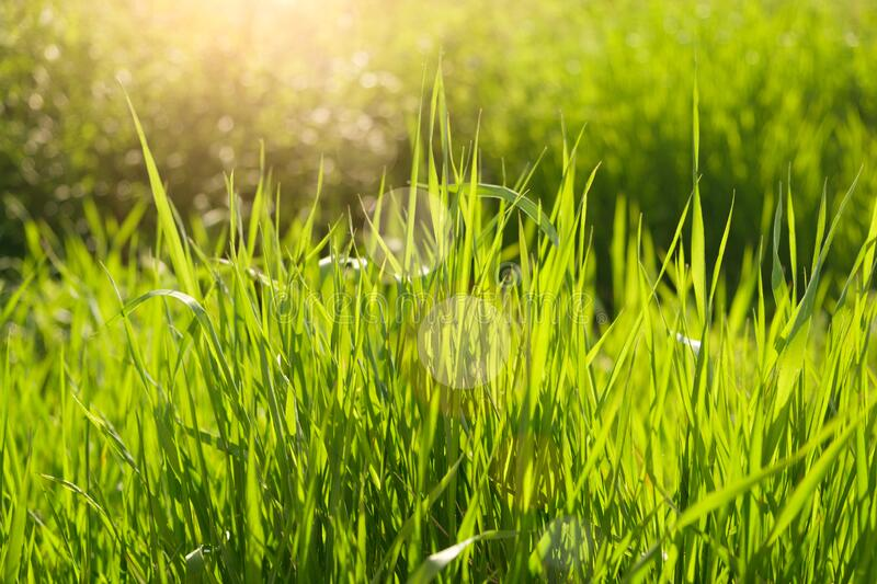 Summer background. rural summer backgrounds. Abstract natural backgrounds with green grass and beauty bokeh stock photography