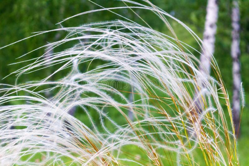 Summer background of waving grass royalty free stock photo