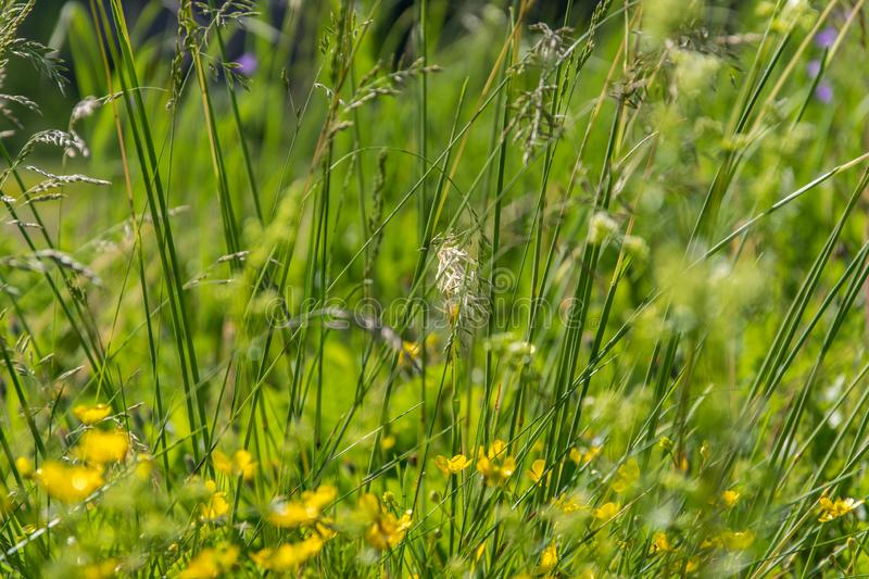 Summer background with a wild grass and leaves on nature. Juicy lush green grass on meadow closeup stock images