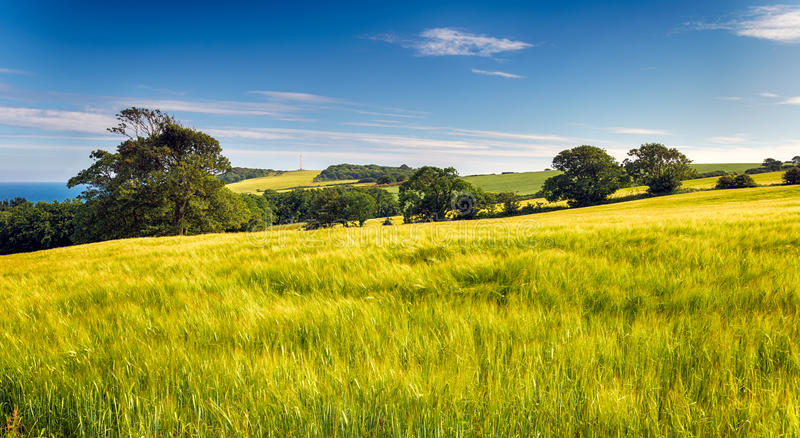 Summer Barley Fields. Fields of summer barley ripening on the slopes of Gribbin Head with the daymark lighthouse in the far distance stock image