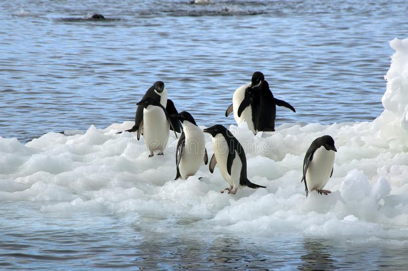 Group of adelie penguins on floating ice. Summer beach scene on Paulet Island, Antarctica stock photos