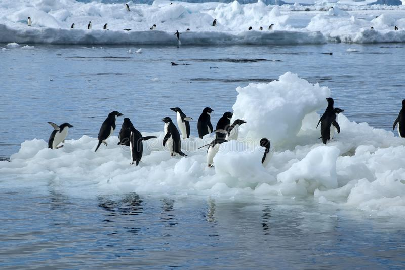 View from beach a group of adelie penguins on floating ice. Summer beach scene on Paulet Island, Antarctica stock images