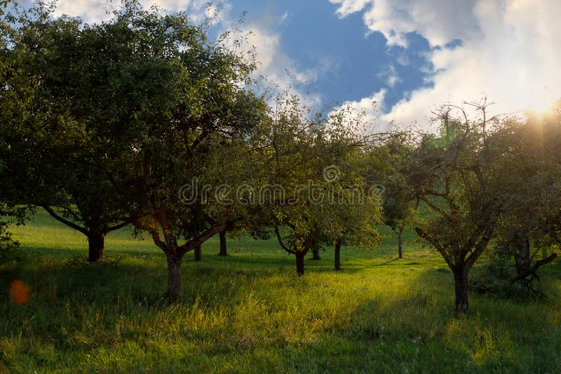 Summer beautiful apple orchard at sunset. The sun shines through the leaves of the trees. Nature landscape background.  stock photography