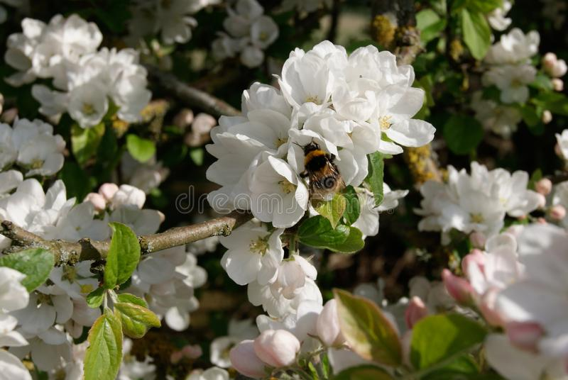 Summer Bee in summer flower. Bee sipping nectar in flowers of a apple tree in the summer royalty free stock images