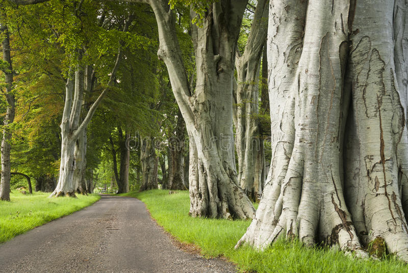 Summer Beech Avenue stock photo