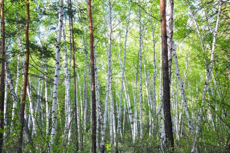 Summer birch forest. Summer landscape. Beautiful birch forest in Russia stock image