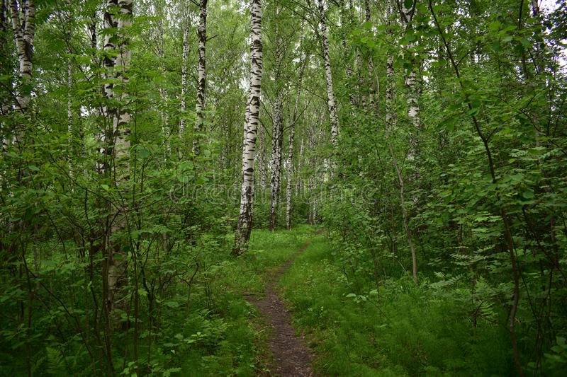 Summer in a birch forest, a narrow path leads deep into the thicket. Thin, long branches and spreading, curly crown give the tree a unique charm stock image