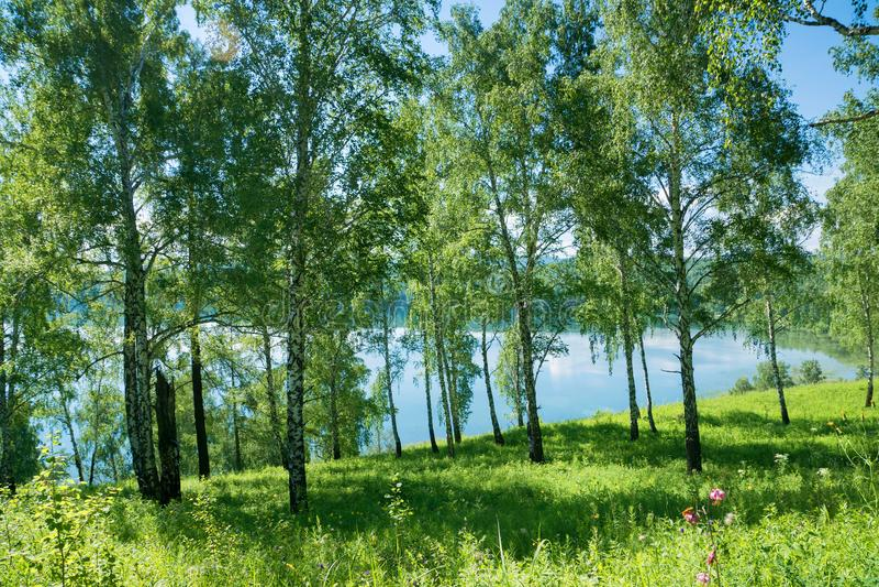 Summer birch forrest near lake stock photos