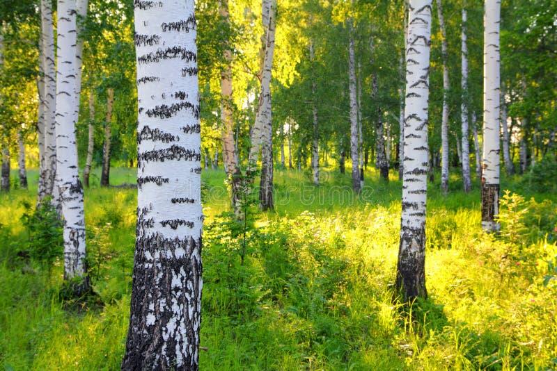 Summer birch woods stock images
