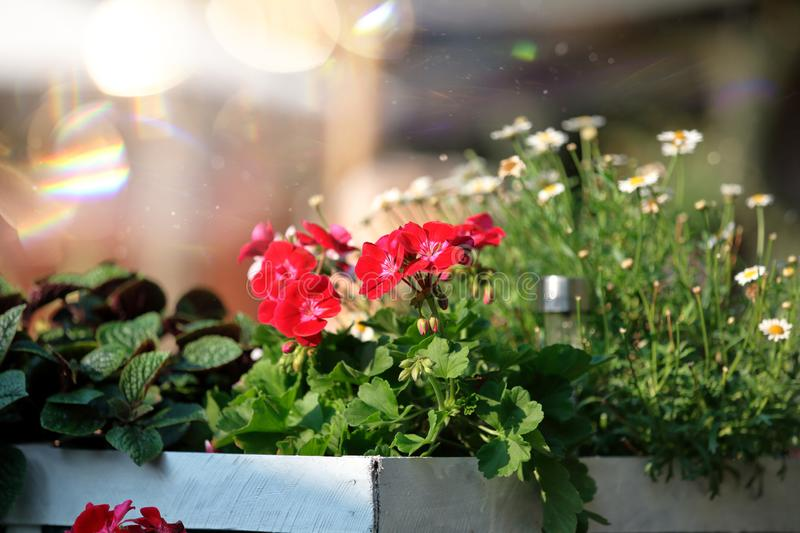 Summer blooming geranium flowers in white box royalty free stock images