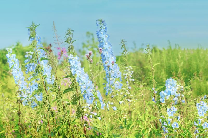 Summer blooming grass delphinium blue and nettle in the meadow. Web-design royalty free stock photos