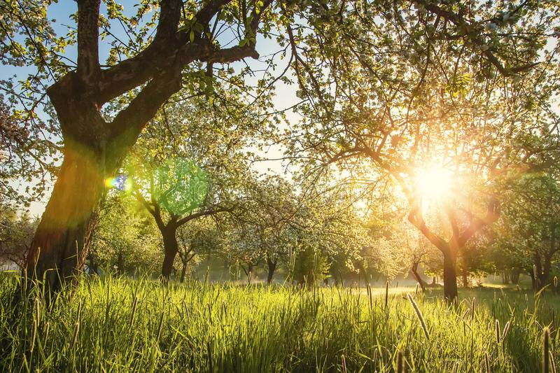 Summer blossoming apple orchard at sunrise. Bright warm sunlight in green garden in early morning. Trees in green garden. Spring background of nature. grass stock image