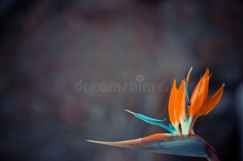 Summer blossoming crane flower background, copy space royalty free stock photo