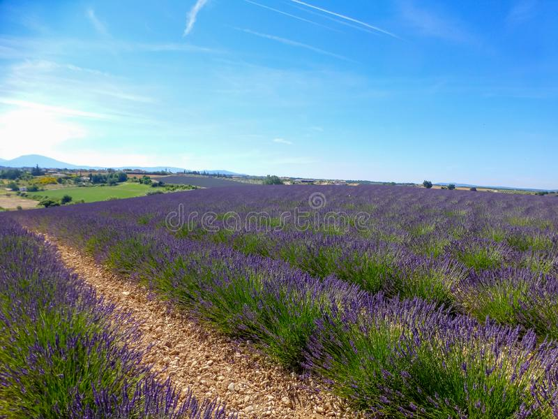 Summer blossoming of lavender fields in Provence near Valensole. Landscape with summer blossoming of lavender fields in Provence near Valensole royalty free stock photo