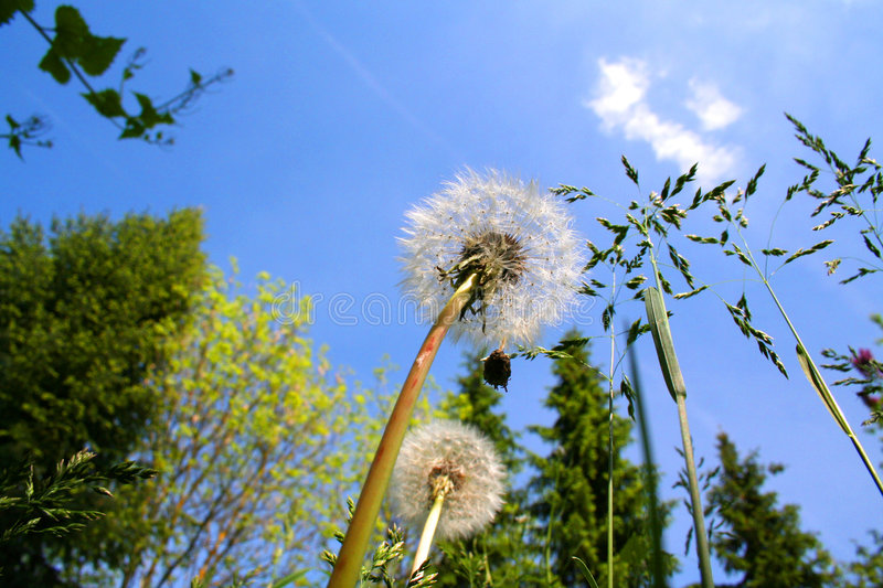 Download Summer Blowball stock image. Image of detail, blowball - 130885
