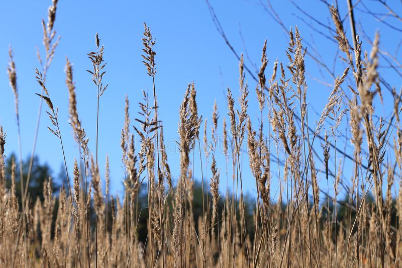 Summer, blue sky, field, wheat ears. Against the blue sky close - up of wheat earsn stock photo