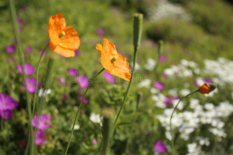 Summer bouquet of orange poppies, small violet and white flowers in green grass royalty free stock photo
