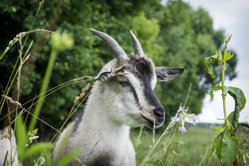 In the summer, on a bright sunny day, a small goat grazes on the field royalty free stock images