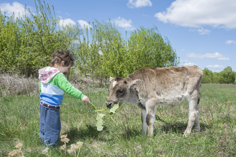 Summer bright sunny day smiling little girl feeding little calf. Summer bright sunny day funny little girl feeding little calf on the field royalty free stock images