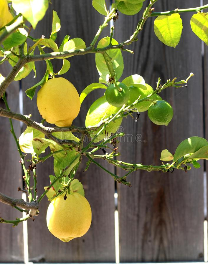 Lemon tree with bright yellow lemons. royalty free stock image