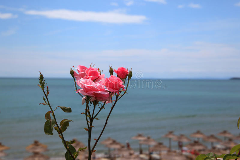 Summer. Bulgaria, Sveti Vlas. Bright premise with flowers. Pink roses on a background of the sea royalty free stock image