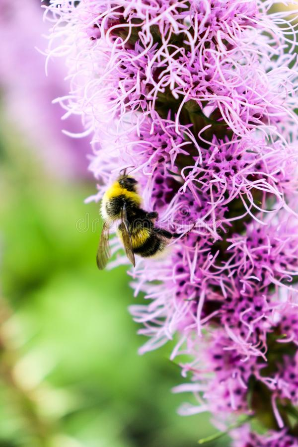 Bumblebee perched on a prairie blazing star flower getting nectar. Purple liatris plant in the garden meadow, close up. stock photos