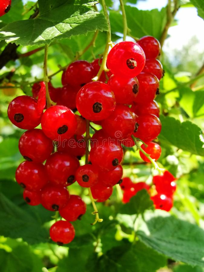 Summer bush with mature berries of a red currant. Fresh redcurrant fruit in the garden. royalty free stock images