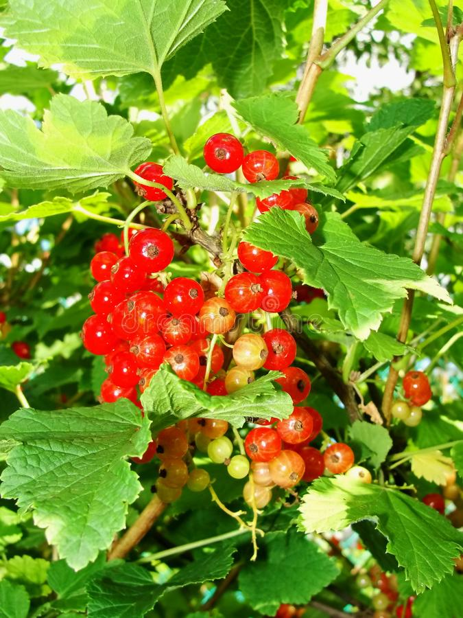 Summer bush with mature berries of a red currant. Fresh redcurrant fruit in the garden. royalty free stock photos