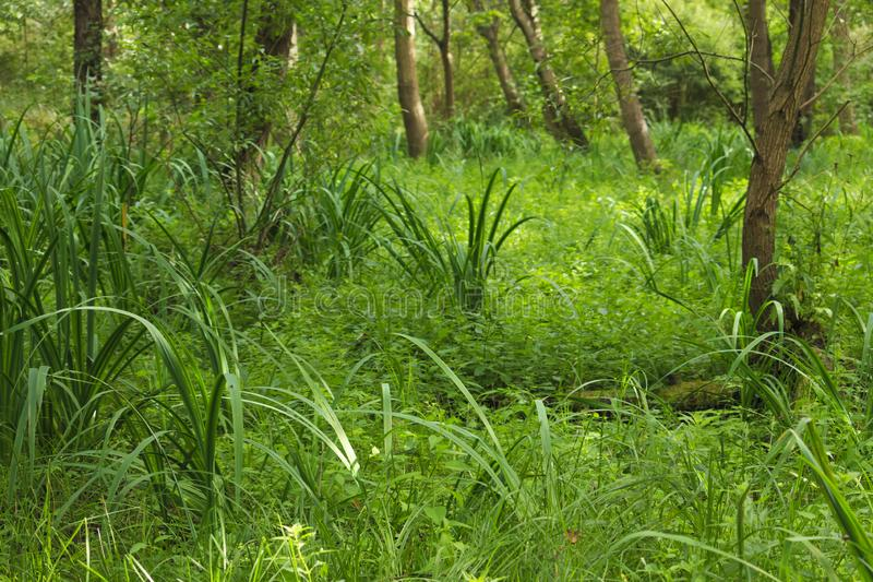 Wet place under alders in summer. In the summer, the calamus grow under black alders in a marshy place in Latvia at Liepāja stock photos