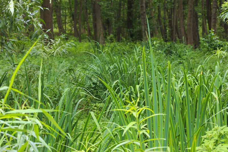 Wet place under alders in summer. In the summer, the calamus grow under black alders in a marshy place in Latvia at Liepāja royalty free stock photography