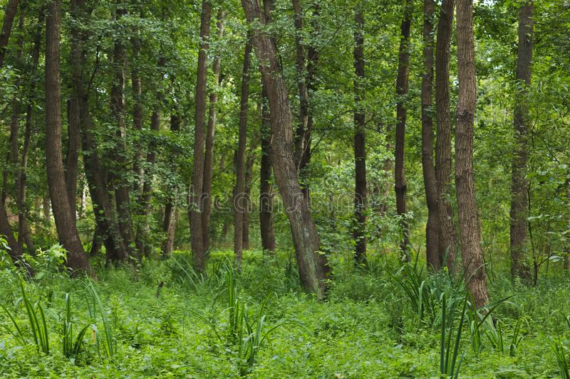Wet place under alders in summer. In the summer, the calamus grow under black alders in a marshy place in Latvia at Liepāja stock images