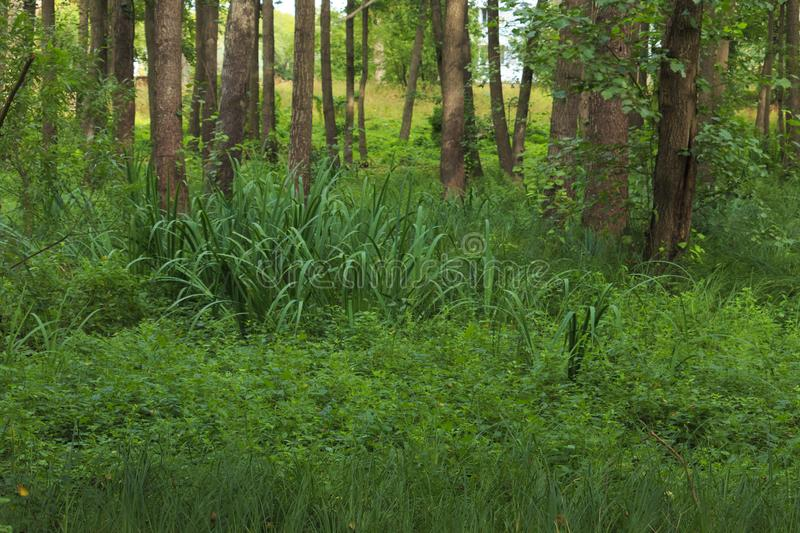 Wet place under alders in summer. In the summer, the calamus grow under black alders in a marshy place in Latvia at Liepāja royalty free stock photo