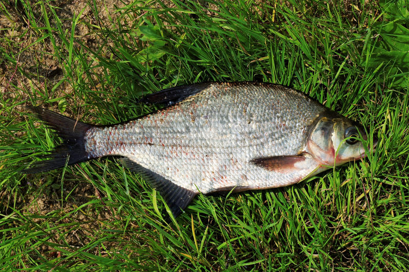 Summer Catch Of Big Bream Stock Images