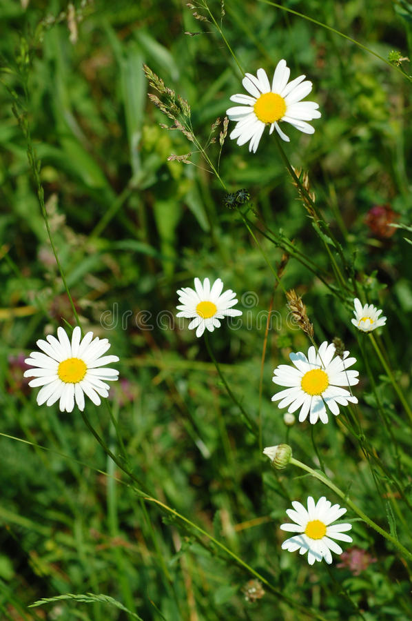 summer chamomiles royalty free stock photo