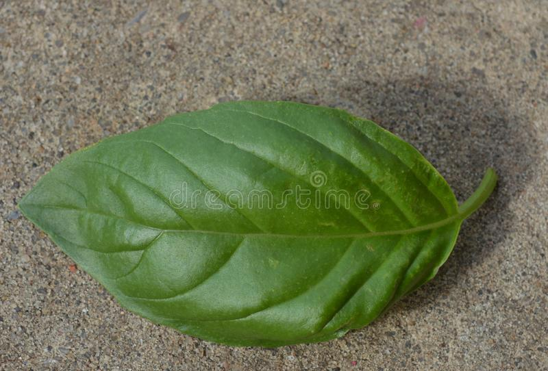 Close up photo of 1 green basil plant leaf growing outside in a garden. Summer. Close up photo one green basil plant leaf on the ground royalty free stock photos