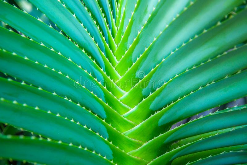 Summer concept. tropical leaf texture, large palm foliage nature dark green background. royalty free stock photos