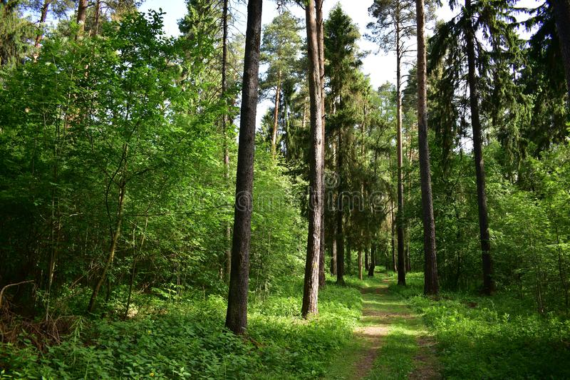 The summer coniferous forest is very beautiful well under the pines and firs in the hot afternoon stock image
