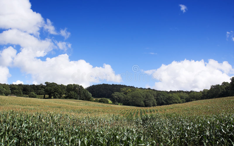 Download Summer Corn stock photo. Image of healthy, rural, agriculture - 213094