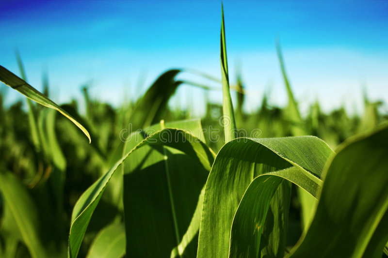 Summer Corn. View of a corn field in the heat of summer stock photography