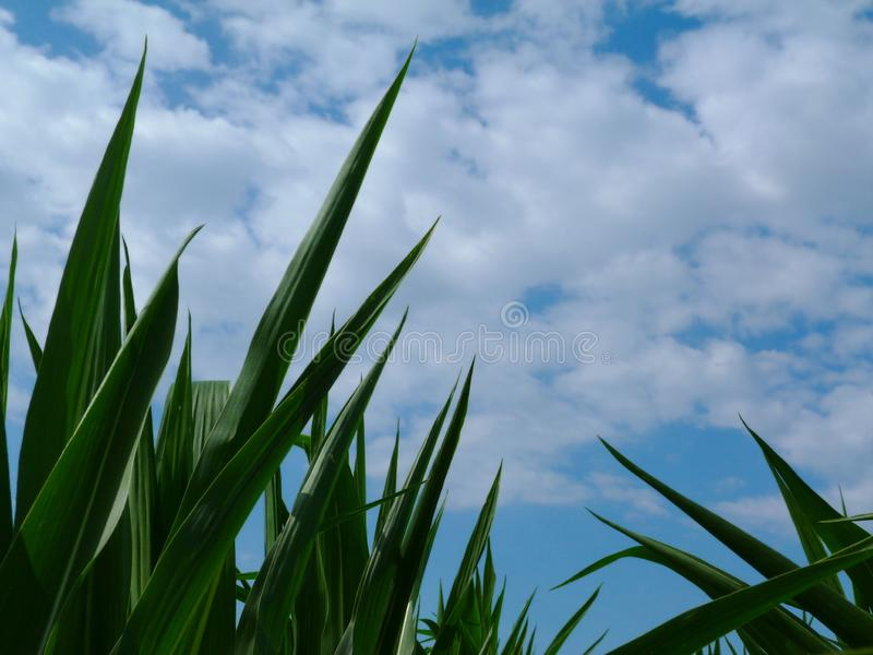 Lush green pointy corn leaves under blue sky and white clouds royalty free stock photo