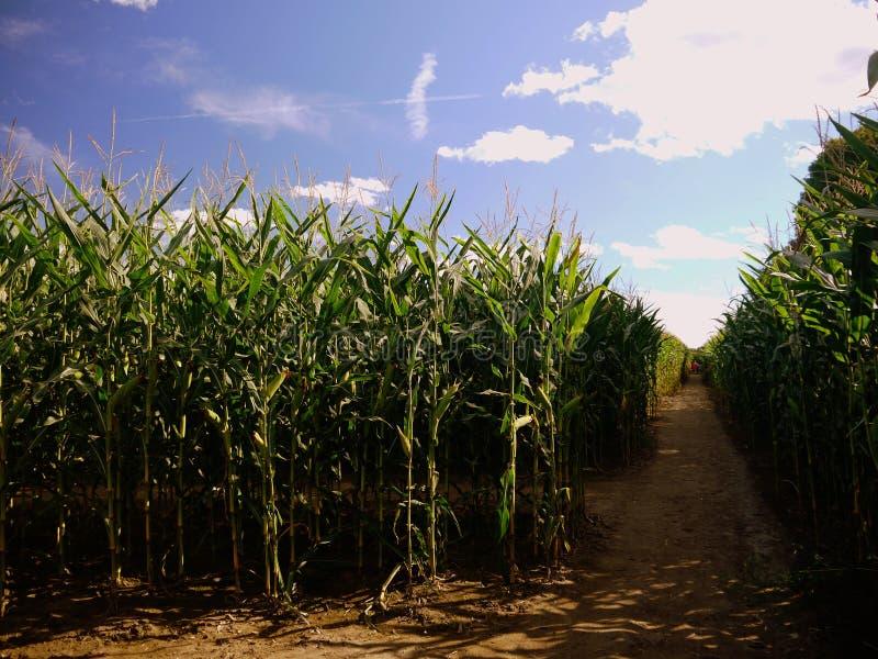 Summer: corn maze paths. Agritourism corn maze paths, Sunderland, Massachusetts royalty free stock photography