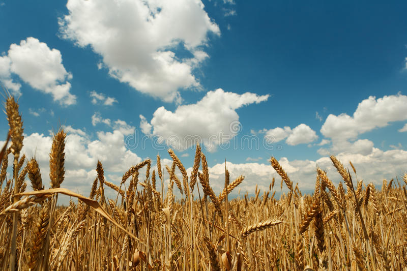 Summer corn wheats royalty free stock photos