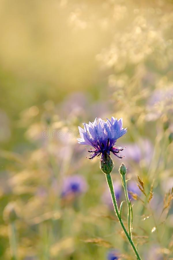 Summer cornflower in the sun rays
