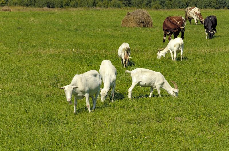 Summer countryside with grazing animals, cows and goats stock photo