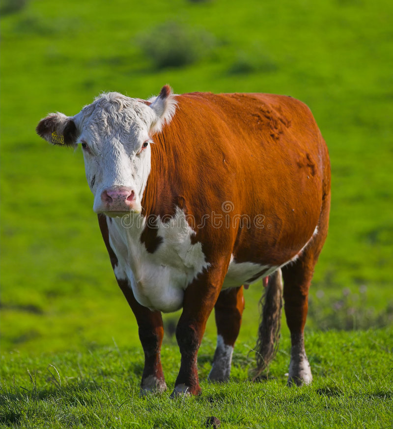 Summer cow royalty free stock image