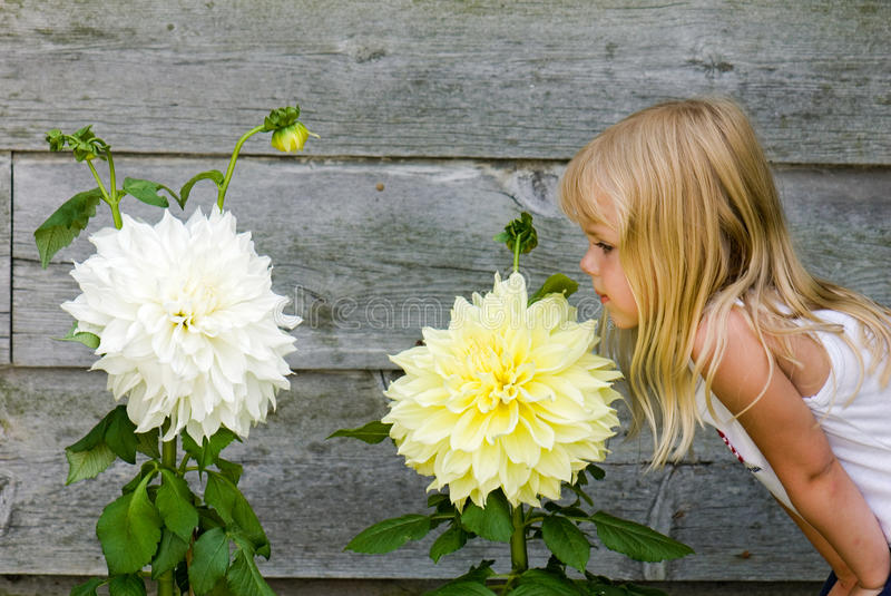 little girl smelling large dahlia royalty free stock photos