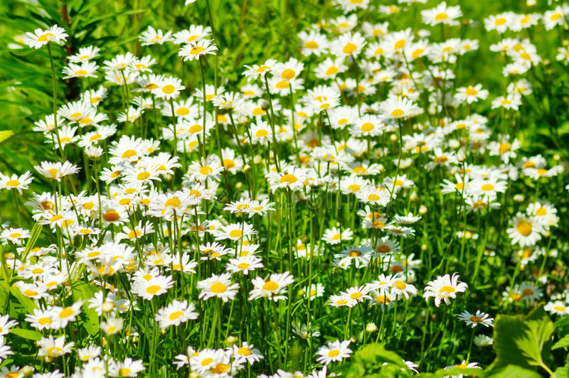 Summer daisies and green grass royalty free stock image
