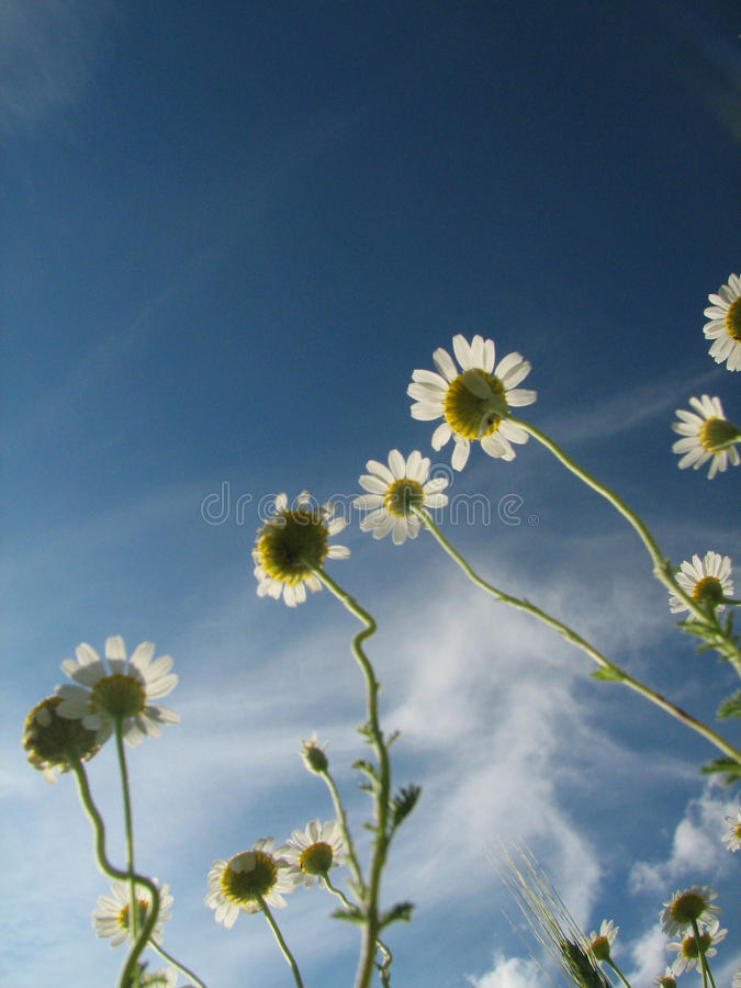 Summer daisies under blue sky stock photography