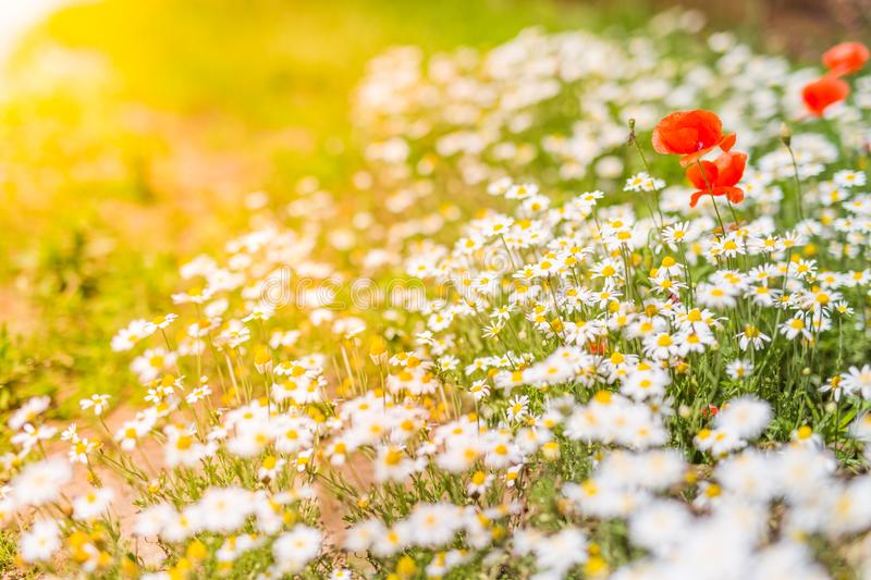 Summer daisy flowers under sunlight. Inspirational and relaxational flowers design. Beautiful summer flowers and meadow and calm nature background under sunlight royalty free stock images